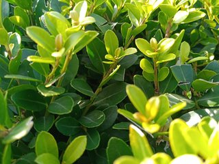 Ilex crenata green hedge