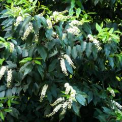 Prunus 'Laurierkers' haag
