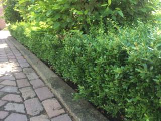 Groenblijvende hagen