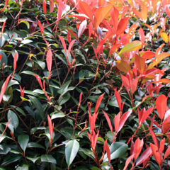Glansmispel haag 'photinia'