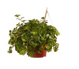 Vetplanten - succulenten