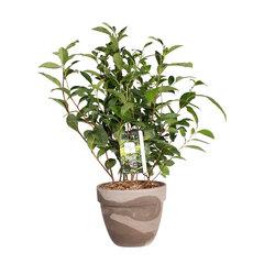 Thee planten