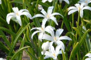 Chinodoxa