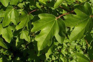 Acer campestre (veldesdoorn)