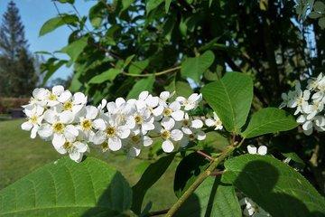 Prunus Padus (Vogelkers)