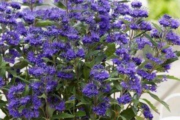 Caryopteris - blauwe spirea