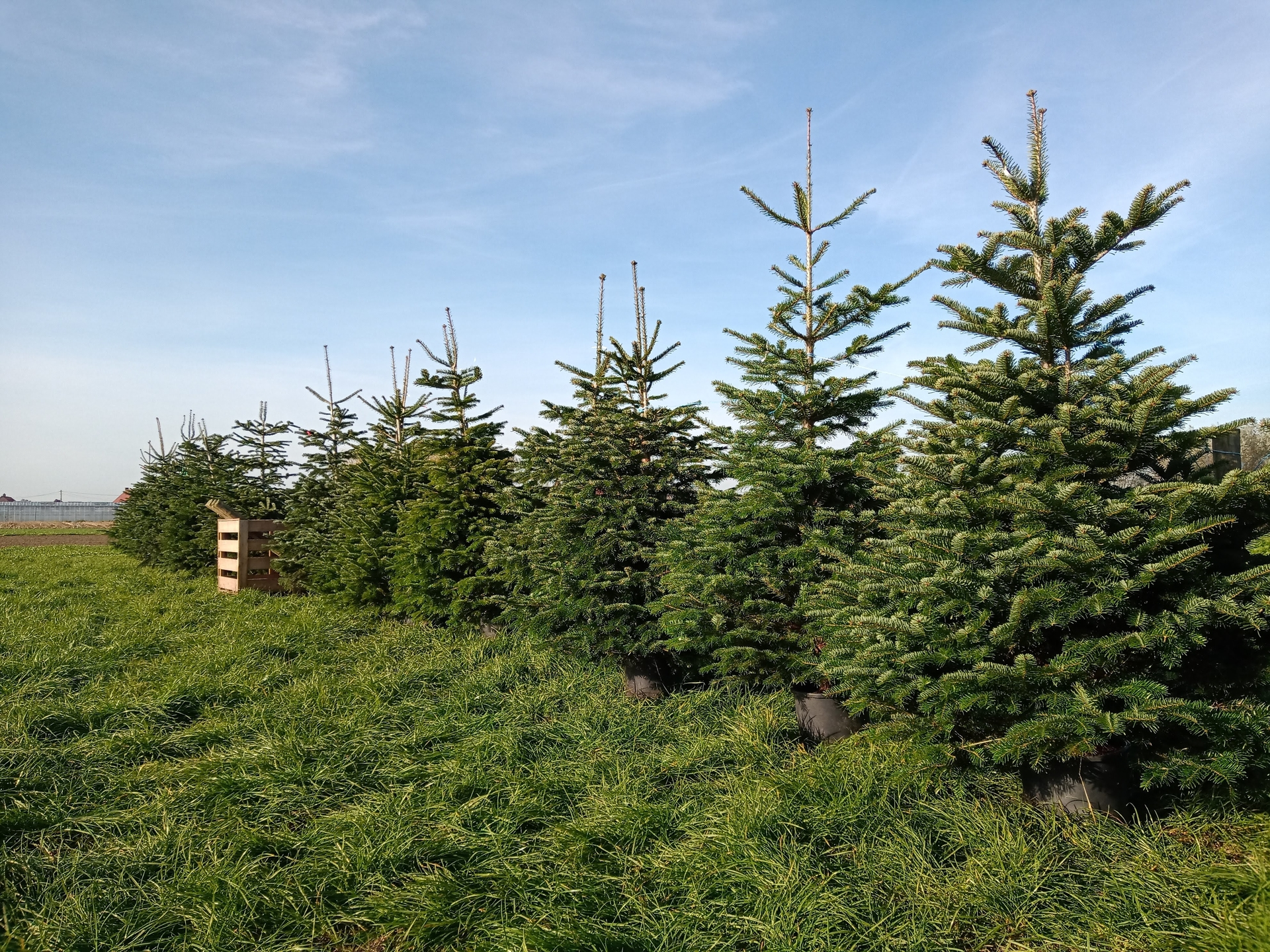 Nordmann Christmas trees