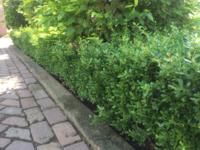 Ilex crenata kiezen? Bereid uw bodem goed voor om aan te planten!