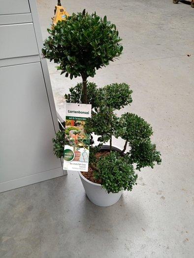 Ilex Crenata Dark Green Bonsai 90 100 Puur Van T Veld