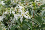 Toscaanse jasmijn 'Trachelospermum Jasminoides' 50-60 cm