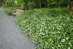 Toscaanse jasmijn 'Trachelospermum Jasminoides' wit 50-60 cm