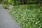 Toscaanse jasmijn 'Trachelospermum Jasminoides' 100-125 cm