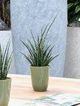3 x Sanseveria 30 cm 'Sanseveria Fernwood Punk'