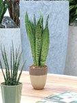 Sanseveria, vrouwentong 50 cm 'Sanseveria Zeylanica'