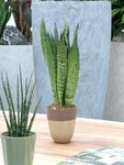 2 x Sanseveria 50 cm, vrouwentong 'Sanseveria Zeylanica'