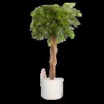 Vingersboom in ® ELHO sierpot wit 120 cm