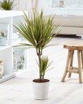 Dracaena marginata Bicolour 80 cm
