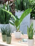 2 x Anthurium Jungle King 60 cm