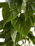 Philodendron scandens 120 cm