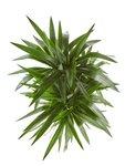 Yucca elephantipes - Palmlelie - 130 cm