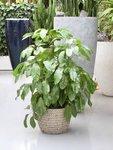 Schefflera Amate, Vingersboom - 130 cm