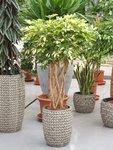 Vingersboom 'Schefflera Trinette' - 110 cm