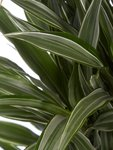 Drakenboom, Dracaena Dermensis Warneckei 120 cm