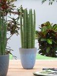 Sanseveria 'Straight' 40 cm - luchtzuiverend