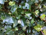 Hedera hibernica - klimop - 40-60 cm - (zonder stok)
