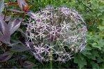 3 x Allium Christophii - biologische bloembol