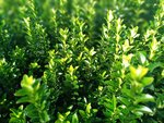 Euonymus 'green spire' 20-25 cm kardinaalshoed/muts