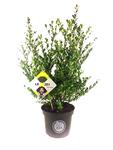 Ilex crenata Dark green® 40-60 cm
