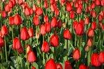 7 x Tulipa Red Impression - biologische bloembol