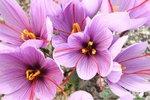 12 x Krokus Sativus (Saffraan) - biologische bloembol