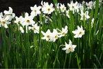 5 x Narcissus Recurvus - biologische bloembol
