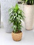 Drakenboom, Dracaena Janet Craig 120 cm