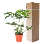 Philodendron Green Wonder 80 cm
