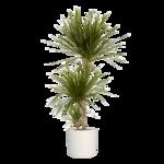 Dracaena Marginata in witte ® ELHO sierpot 130 cm