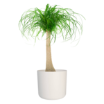 Olifantspoot in witte ® ELHO sierpot 'Beaucarnia Nolina' 65 cm