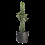 Euphorbia cactus in zwarte ® ELHO sierpot 70 cm