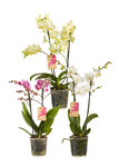 3 x Phalaenopsis multiflora mix 50 cm