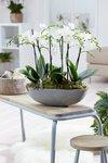 2 x Phalaenopsis multiflora white (wit) 50 cm