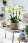 Phalaenopsis multiflora yellow 50 cm