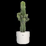 Euphorbia cactus in witte ® ELHO sierpot 70 cm