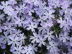 Phlox sublata 'Esmerald cushion blue' - kruipende vlambloem
