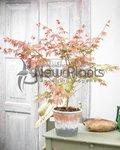 Acer palmatum 'Brown Sugar'® 50-60 cm - Japanse esdoorn