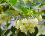 Enkianthus campanulatus 'Prettycoat' 50-60 cm