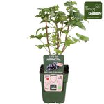 Ribes lowb. ® 'Little Black Sugar' - zwarte aalbes - Bio fruitplant