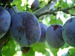 Prunus dom. 'Hauszwetsche' - Pruimelaar - Bio fruitboom