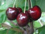 Prunus av. 'Regina' - Zoete kers - Bio fruitboom
